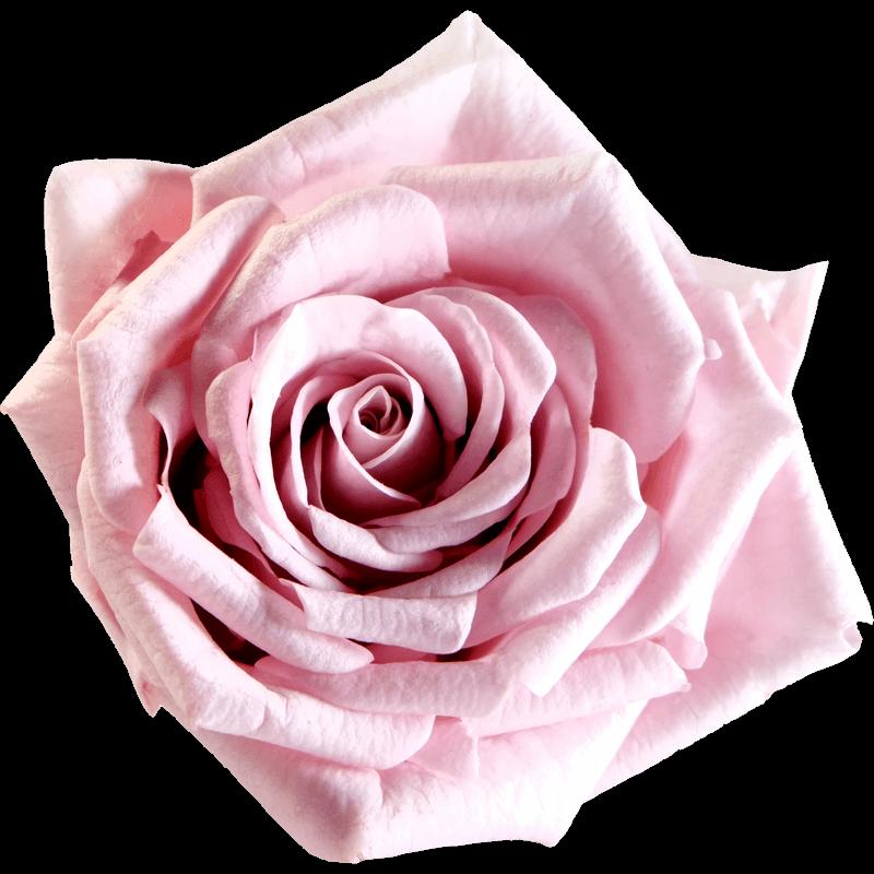 Weselnie różowy (BPI)