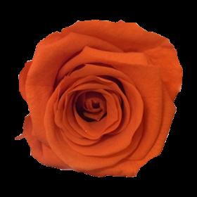 Ognista pomarańcza (ORA)