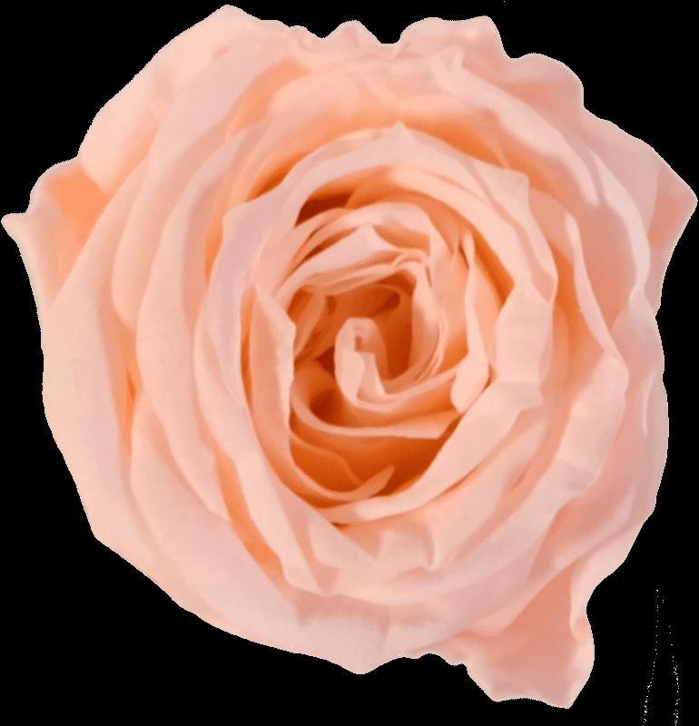 Tropikalna brzoskwinia (TPE)