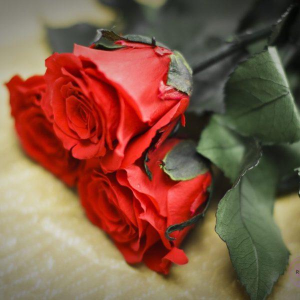 Róża wieczna duża