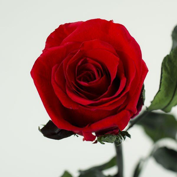 róża stabilizowana idealna na prezent