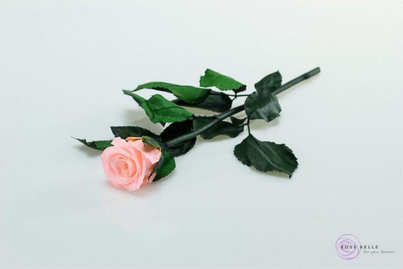 Róża wieczna mała