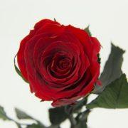 najpiękniejsze róże w kolorze czerwonym od Rose Belle